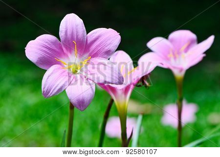 Zephyranthes Lily