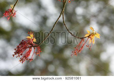 Spring Maple Close Up