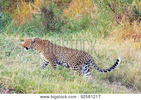 Female Leopard In Masai Mara