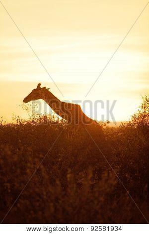 Giraffe Silhouette In Masai Mara