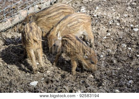 Four Wild Young Piglets On A Field
