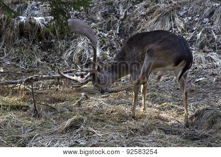 Buck Deer In The Forest