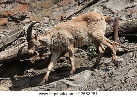 Young male West Caucasian tur (Capra caucasica), also known as the West Caucasian ibex.