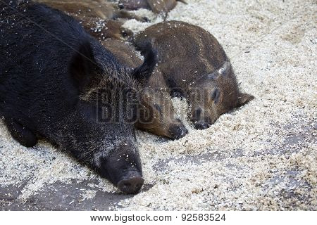 Mother Boar With Her Babies