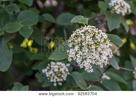 Bunch Of Small White Flowers Closeup