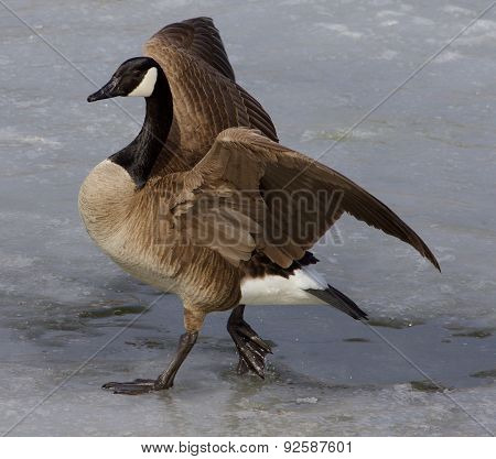 Noble Goose
