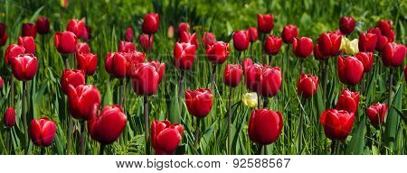 Rotes Tulpenmeer