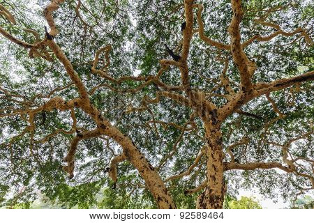 Twisted branches of acacia tree Vachellia leucophloea in Myanmar