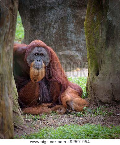 Old Wise Orangutan
