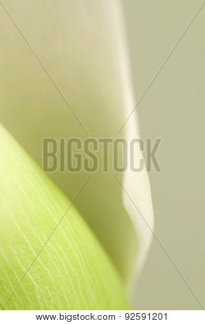 Calla Lily Flower Macro