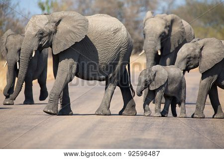 Breeding Herd Of Elephant With Small Calf Cross Tar Road