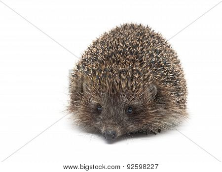 Hedgehog Isolated On White Background Close Up.
