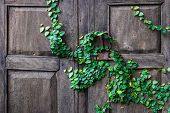 stock photo of creeper  - creeper plants on a wooden door background - JPG