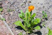 foto of marigold  - Flower of pot or English marigold  - JPG