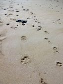 picture of dog footprint  - Beach in Toulinguet (France) close to Camaret-sur-Mer with stones and footprint of a human and a dog that walked straight along the waterfront