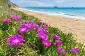 stock photo of icicle  - Pink icicle plants blooming at coast with sandy beach and sea in Greece - JPG