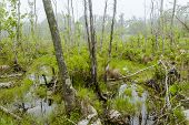 pic of swamps  - Foggy overgrown swamp or marsh woods early in the morning - JPG