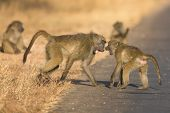 stock photo of anubis  - Young baboons playing in a road late afternoon before going back to their tree - JPG
