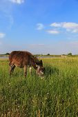 picture of headstrong  - Donkey in a Field in sunny day - JPG