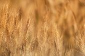 image of dry grass  - Dry yellow grass closeup background - JPG