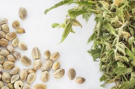 picture of seed bearing  - Close view of hemp seeds and dried cannabis twig in a white background - JPG
