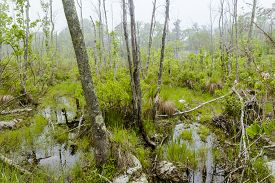 pic of marshes  - Foggy overgrown swamp or marsh woods early in the morning - JPG