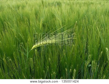 Dare to be different - wheat - barley ear against the wind