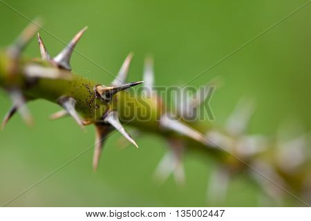 sharp thorns from roses with blurred background