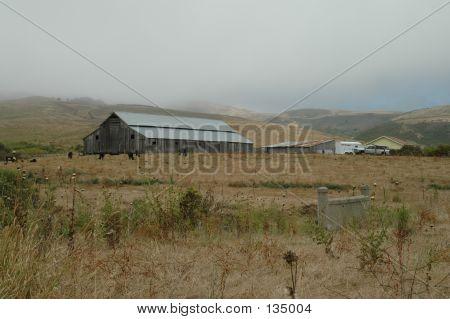 San Gregorio Cattle