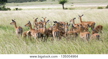 Herd of black-faced impala antelopes (Aepyceros melampus) in the tall grass savanna at Tarangire National Park, Tanzania.