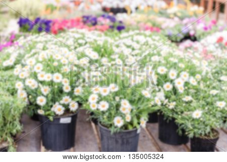 Defocused Background With Beautiful Daisy Flowers In Vases