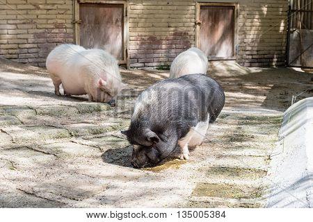 Farm Pigs