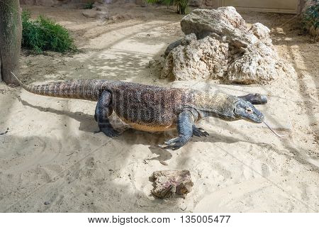 Komodo Dragon, The Largest Lizard In The World