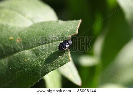 Macro photo of a pied shield bug (Tritomegas bicolor)