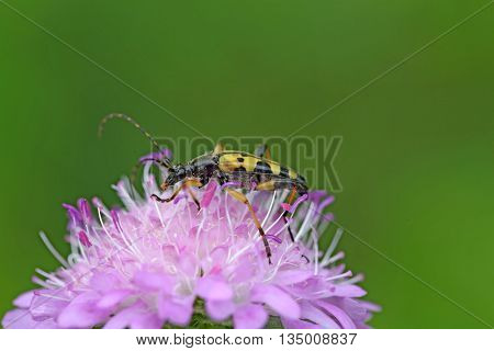 Spotted Longhorn beetle (Strangalia maculate) on a flower.