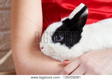 Pet rabbit sitting on the hands of the hostess