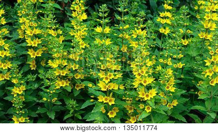 Yellow flowers of loosestrife in the garden