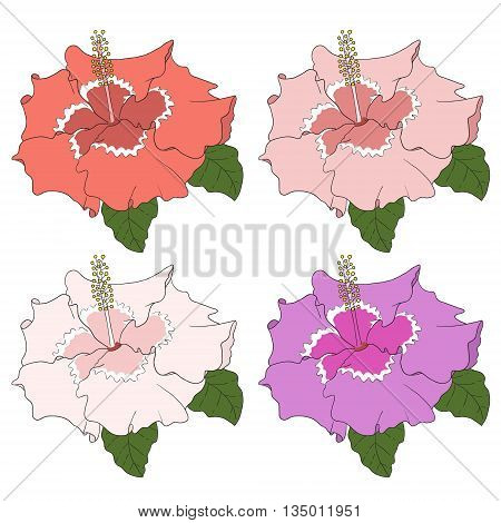 Hibiscus flower with leaves hand draw on white background.