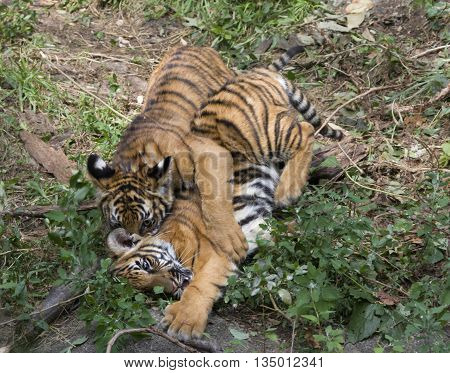 Two playful tiger cub siblings wrestling around