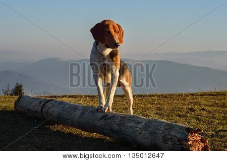 Estonian Hound dog for a walk in the mountains