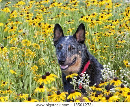 Australian Cattle Dog in Black-eyed Susan Meadow