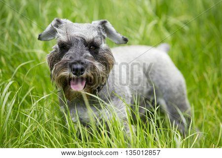 the dog breed miniature schnauzer on a green grass
