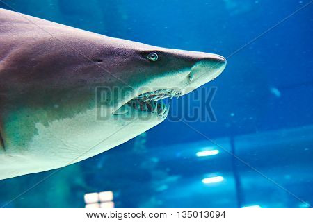 Great White Shark In Large Oceanarium