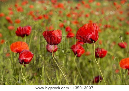 Red Poppies on green field.Beautiful poppy and daisies field background.