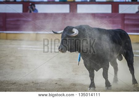 Cabra SPAIN - September 5 2010: Bull about 650 Kg in the sand Cabra Spain