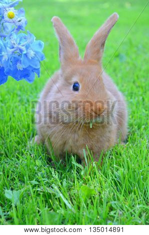 Small red rabbit New Zealand rocks on the background of the lawn next to a bouquet of blue delphinium