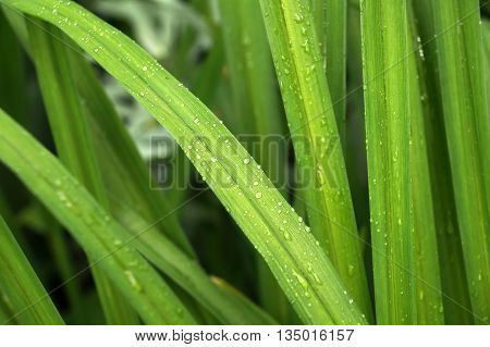 Green long leaves of ornamental plants with water drops