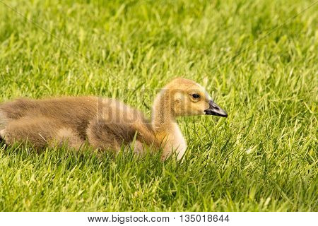 Canada Goose Gosling resting in green grass