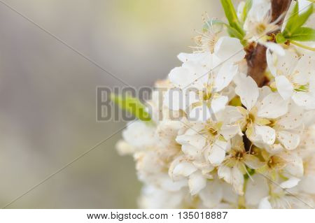 Nature background apple blossoms and leaves on the tree branch soft focused with vintage foggy filter have place for text
