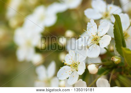 Nature background apple blossoms and leaves on the tree branch soft focused with shallow depth of field